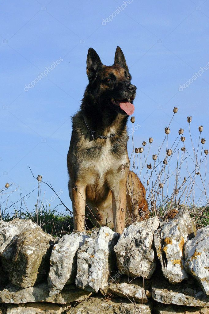 Beautiful young purebred belgian shepherd malinois: cute watching dog — Stock Photo #2086270