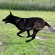 Stock Photo: Running malinois