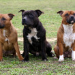 Staffordshire bull terriers — Stock Photo