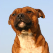 Staffordshire bull terrier — Stock Photo #2096352