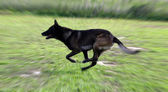 Running malinois — Stock Photo