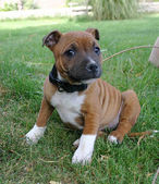 Staffordshire bull terrier — Stock Photo