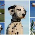 Dalmatian — Stock Photo #2114516