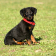 Puppy beauceron — Stock Photo