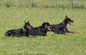Four dogs — Stock Photo