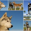 Siberian huskies - Stock Photo