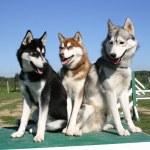 Siberian huskies — Stock Photo #2122383