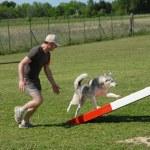 Siberian husky in agility — Stock Photo