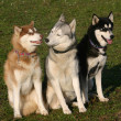 Stock Photo: Siberian huskies