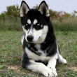 Stock Photo: Puppy Siberian husky