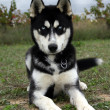 Puppy Siberian husky — Stock Photo