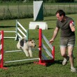 Jumping Fox terrier — Stockfoto