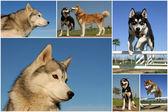 Siberian huskies — Stock Photo