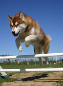 Jumping Siberian husky — Stock Photo