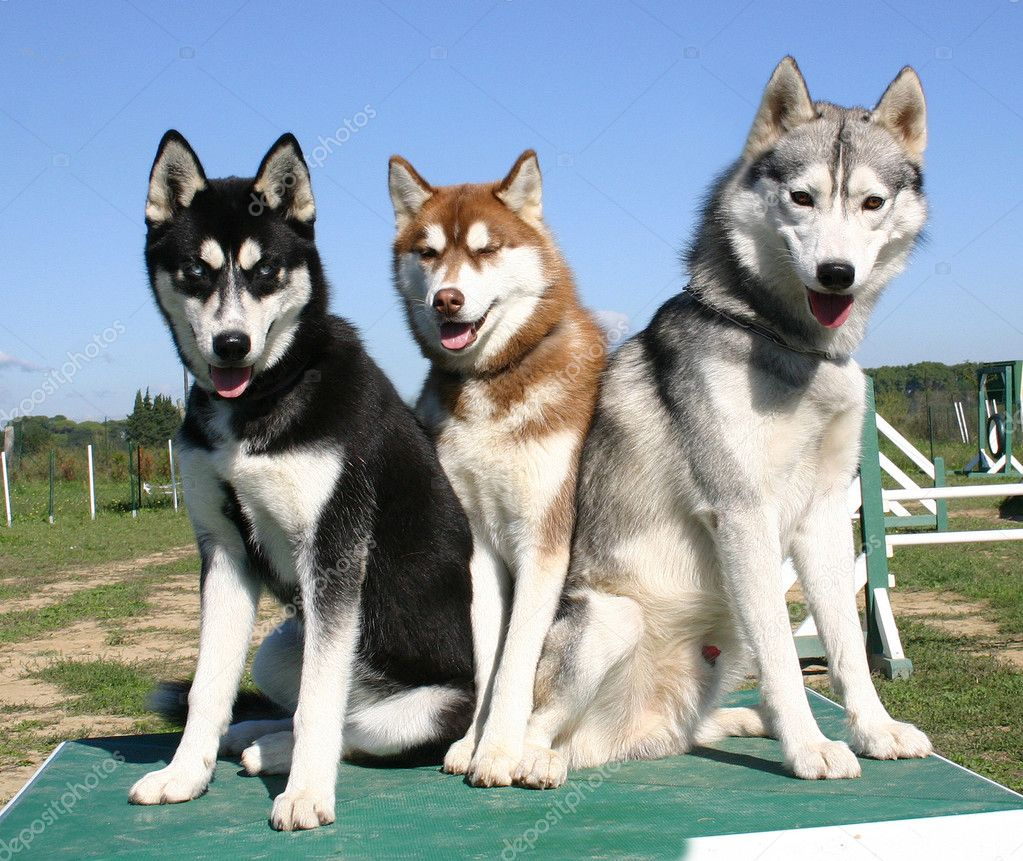 Siberian husky pictures