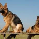 Two german shepherds — Stock Photo #2150357