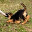 Puppy German shepherd — Stock Photo