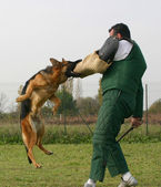 Training of police dog — Stock Photo