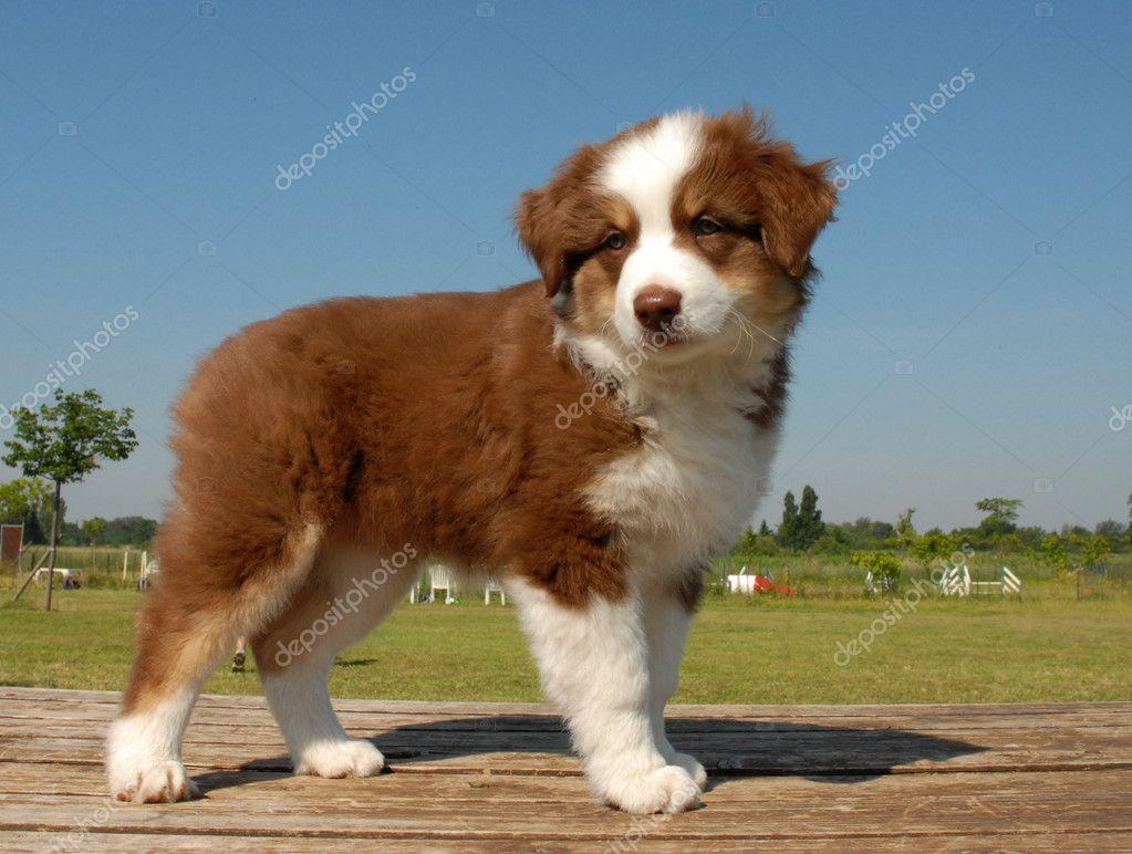 Puppy Australian shepherd - Stock Image
