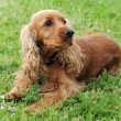 Cocker spaniel — Stock Photo