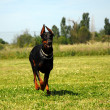 Doberman — Stockfoto