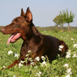 Doberman — Stock Photo