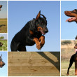 Doberman — Stock fotografie