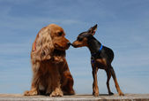 Two dogs kissing — 图库照片