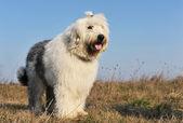 Oud engels sheepdog — Stockfoto