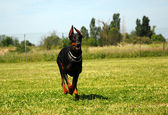 Dobermann — Stockfoto