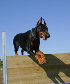 Jumping doberman — Stock Photo