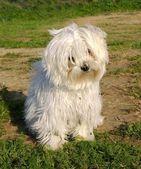 Little white dog — Stock Photo
