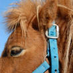 Постер, плакат: Shetland pony