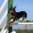 Jumping Miniature pinscher — Stock Photo