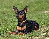 Miniature pinscher — Stock Photo