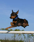 Jumping Miniature pinscher — Zdjęcie stockowe