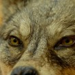 Eyes of wolf — Stock Photo #2204688