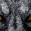 Eyes of wolf - Stock Photo