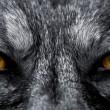 ögon av varg — Stockfoto