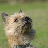 Purebred cairn terrier — Stock Photo