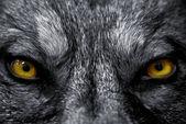 Ogen van wolf — Stockfoto