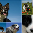 border collie — Foto Stock