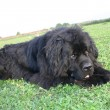 Newfoundland dog -  