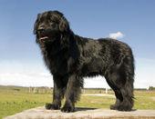 Newfoundland dog — Stock Photo