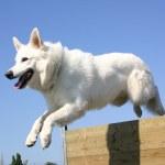 saut des berger allemand blanc — Photo
