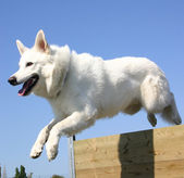 Jumping white german shepherd — Stock Photo