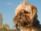 Shi tzu — Stock Photo
