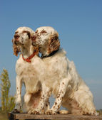 Two english setters — Stock Photo