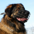 Stock Photo: Leonberger and muzzle
