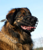 Leonberger and muzzle — Stock Photo
